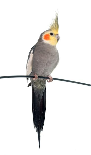Cockatiel gris adulto Foto Premium