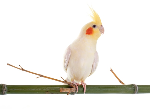 Cockatiel pájaro Foto Premium
