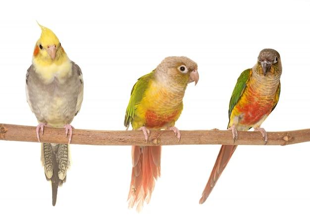 Cockatiel y periquito de mejillas verdes Foto Premium