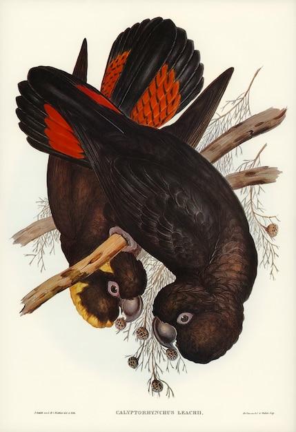 Cockatoo (calyptorhynchus leachii) ilustrado por elizabeth gould Foto gratis