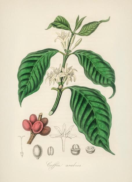 Coffea arabica ilustración de botánica médica. Foto gratis