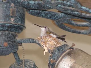 colibrí, el pájaro