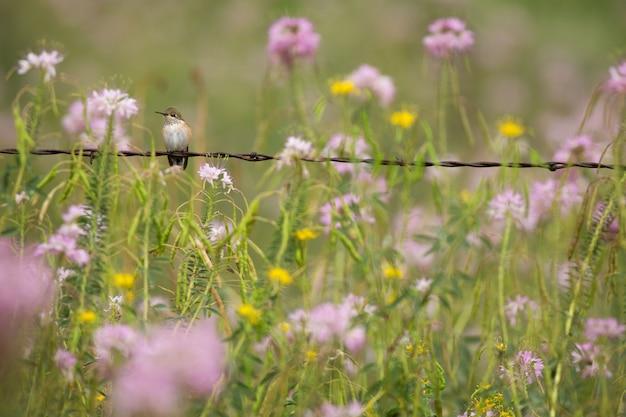 Colibrí posado en alambre de púas con flores silvestres Foto Premium
