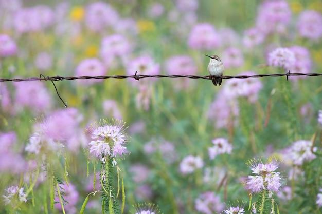 Colibrí en la valla de alambre de púas con flores silvestres Foto Premium
