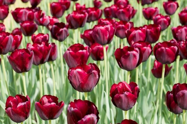 Coloridas flores de tulipanes negros que florecen en un jardín Foto Premium