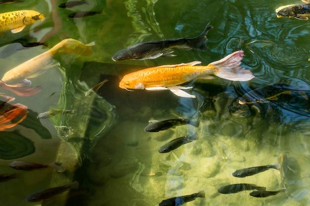 Coloridos peces carpa de lujo o peces koi en el estanque for Estanque moderno para peces koi