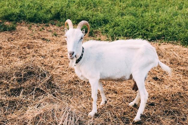 Concepto de granja con cabra Foto gratis