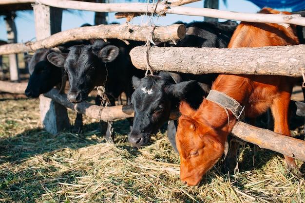 Concepto de industria agrícola, ganadería y ganadería. rebaño de vacas en establo en granja lechera Foto Premium