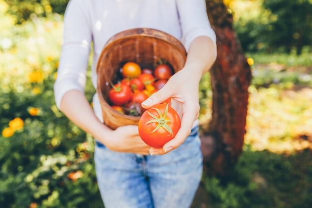 Concepto de jardinería y agricultura. manos del trabajador de granja de la mujer joven que sostienen la cesta que escoge los tomates orgánicos maduros frescos en jardín. productos de invernadero. producción de alimentos vegetales. Foto Premium