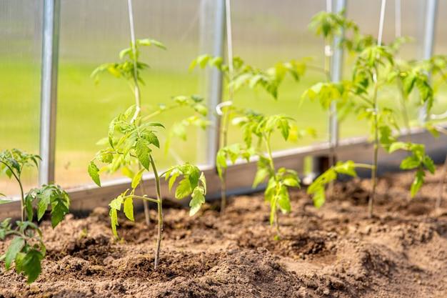 Concepto de jardinería y agricultura. tomates orgánicos que crecen en invernadero. productos de invernadero. producción de alimentos vegetales Foto Premium