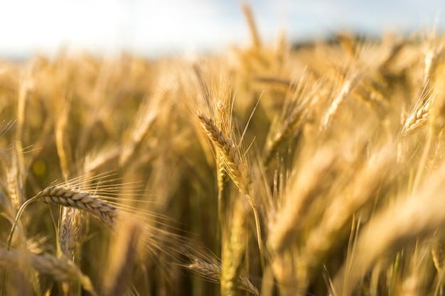 Concepto de otoño con especias de trigo dorado Foto Premium
