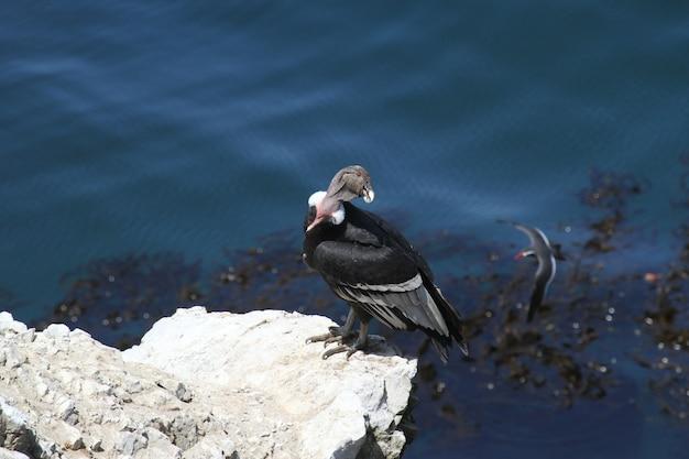 Cóndor andino en la costa rocosa Foto Premium
