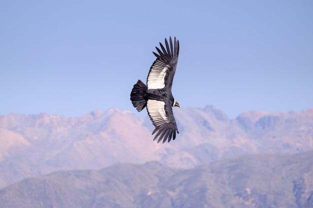 Cóndor volando sobre el cañón del colca en perú Foto Premium