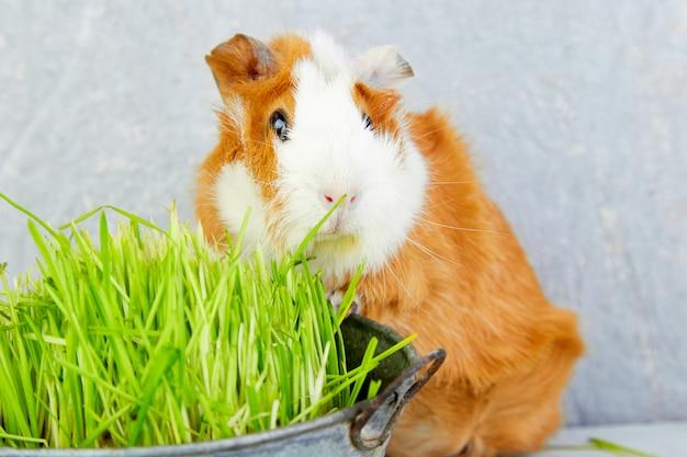 Conejillo de indias del pelirrojo cerca del florero con la hierba fresca. Foto Premium