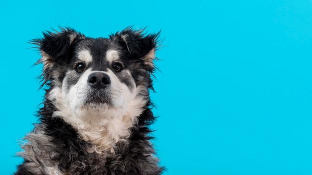 Copia-espacio perro peludo sobre fondo azul. Foto gratis