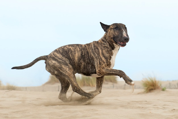 Corriendo bull terrier Foto Premium