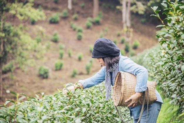 La cosecha de la mujer / recoge las hojas de té verde frescas en el campo del té de la alta tierra en chiang mai tailandia Foto gratis