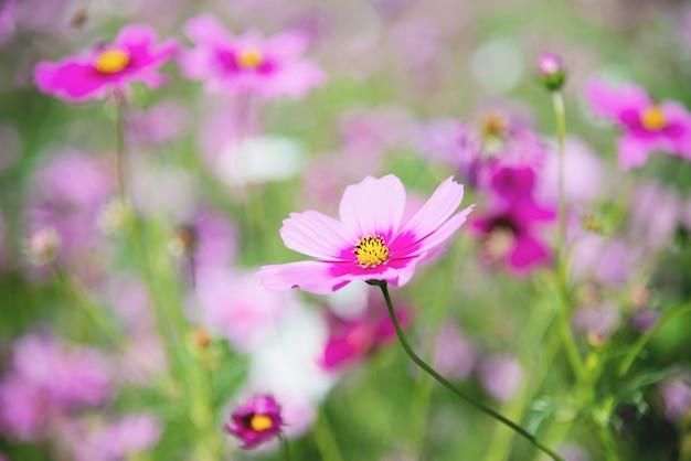El cosmos púrpura de la primavera hermosa florece en fondo verde del jardín Foto gratis