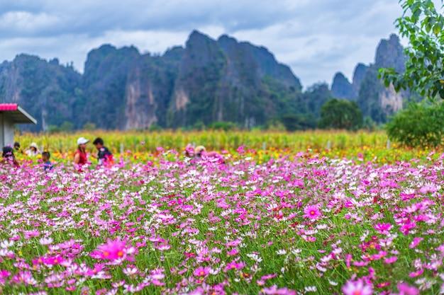 El cosmos rosado de las flores florece maravillosamente en el jardín ...