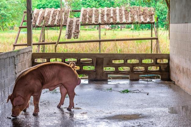 Criadores de cerdos rojos en una granja Foto Premium
