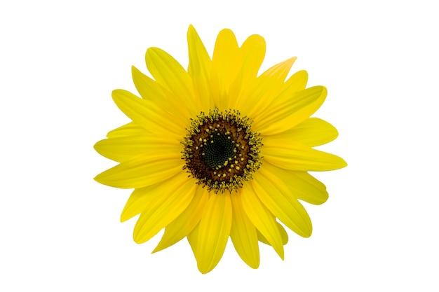 Crisantemo amarillo aislado en blanco Foto Premium