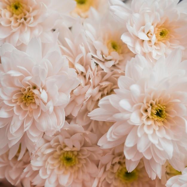 Crisantemo blanco hermoso como fondo Foto gratis