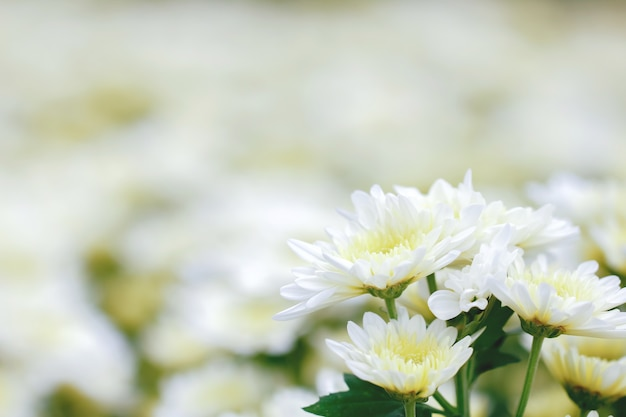 Crisantemo blanco Foto Premium
