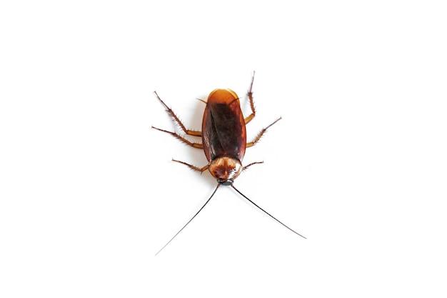 Cucaracha en blanco aislado Foto Premium