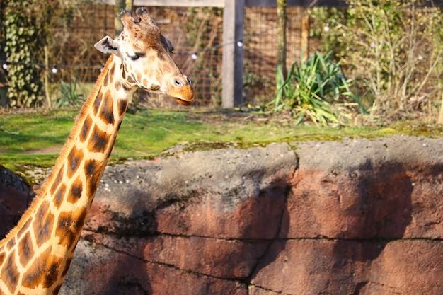 Cuello largo de una jirafa rodeada de césped y plantas en el zoológico Foto gratis