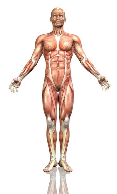 Cuerpo humano, frontal | Descargar Fotos gratis