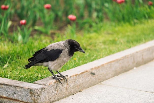 El cuervo negro camina en la frontera cerca de la acera gris en la hierba verde Foto Premium