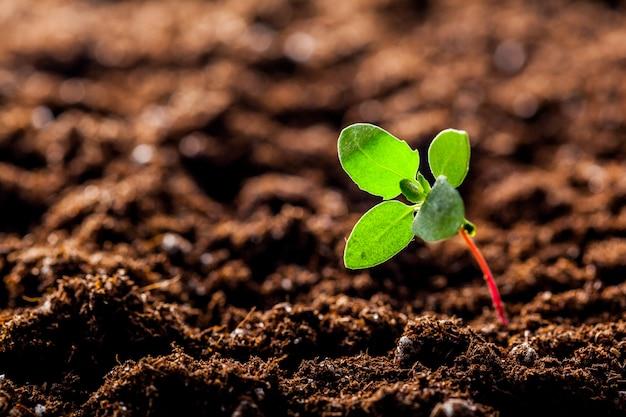 Cultivo de brotes jóvenes de maíz verde en el suelo Foto Premium