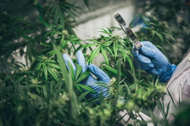 Cultivo de cannabis en interior, técnica de cultivo de cáñamo. cultivo de maceta en groutent. etapa vegetativa del crecimiento de la marihuana. marihuana medicinal. Foto Premium