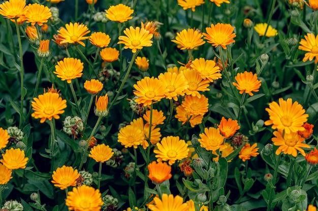 Cultivo de flores de caléndula Foto Premium