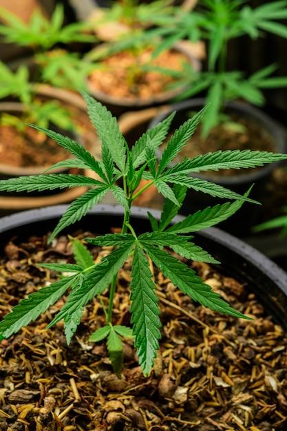 Cultivo de marihuana (cannabis sativa), planta de cannabis en flor como una droga medicinal legal. Foto Premium