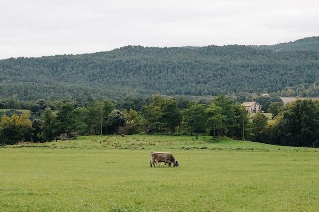 El Cultivo De Vacas Solo En Una Terraza De Hierba Verde En