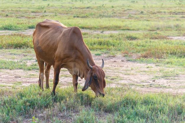 Curiosa vaca en el campo. Foto Premium