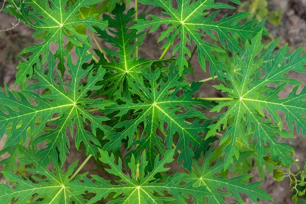 Daun pepaya verde o hoja de papaya en la naturaleza Foto Premium
