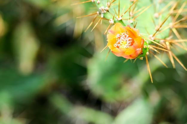 Desierto silvestre flor de cactus floreciente jardín verde Foto Premium