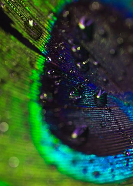 Detalle de las gotas de agua dulce en la pluma de ave pavo real Foto gratis