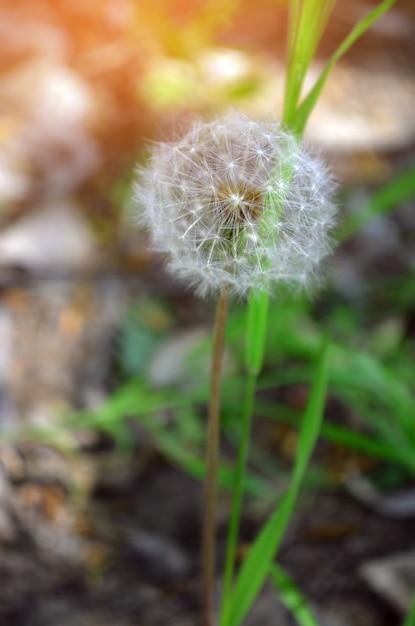 88f4fd1727f Diente de león. concepto de la primavera, hermosa flor, naturaleza fondos  de pantalla | Descargar Fotos premium
