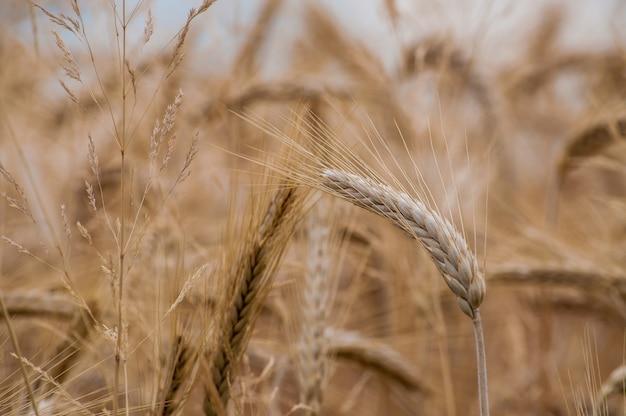 Disparo de enfoque selectivo de cultivos de trigo en el campo con un fondo borroso Foto gratis