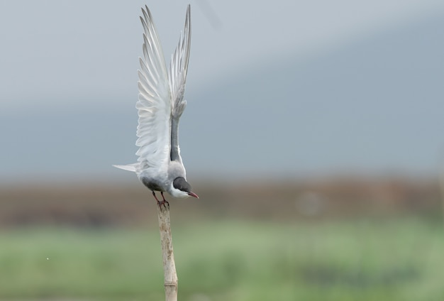 Disparo de enfoque selectivo de un pájaro de charrán bigotudo sentado en un palo de madera Foto gratis