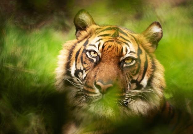Disparo de enfoque selectivo de un tigre mirando a la cámara Foto gratis