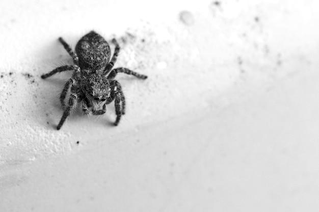 Disparo en escala de grises de un pequeño dendryphantes en una pared bajo las luces Foto gratis