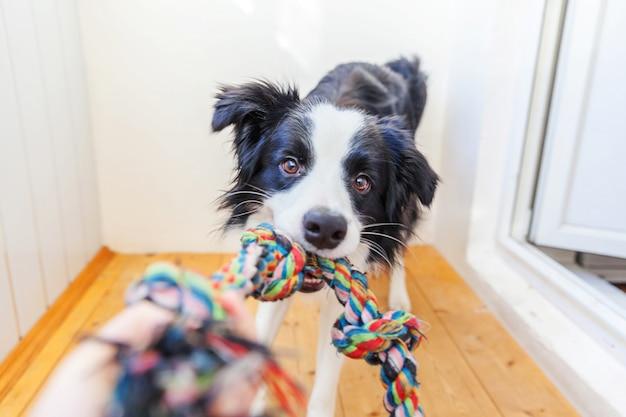 Divertido retrato de lindo cachorro border collie con coloridos juguetes de  cuerda en la boca | Foto Premium