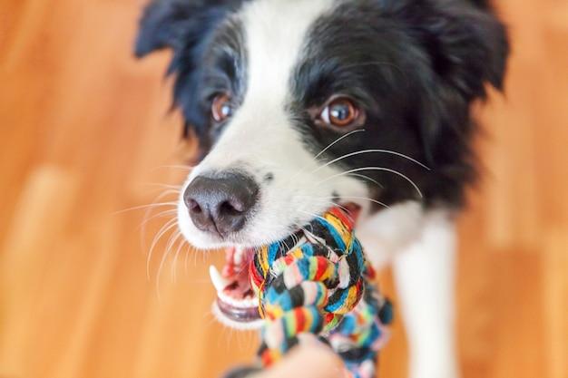 Divertido retrato de lindo sonriente cachorro border collie con coloridos  juguetes de cuerda en la boca | Foto Premium