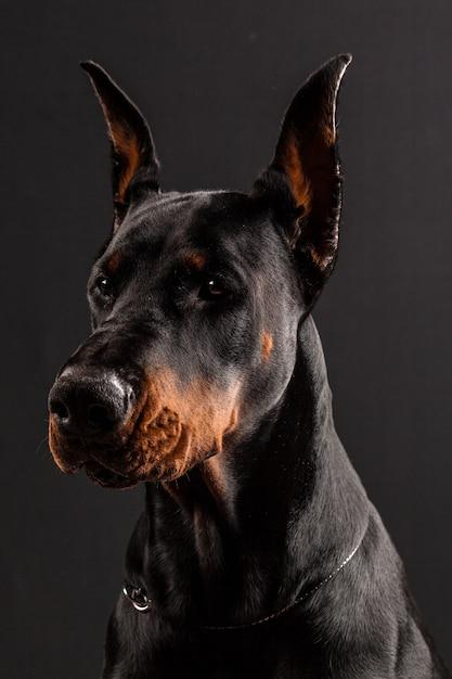 Doberman pinscher retrato en negro. Foto Premium