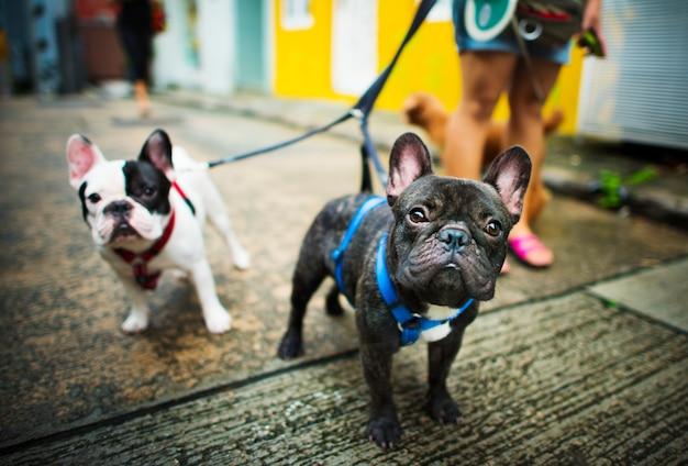 El dogo francés toma un paseo el concepto encantador del animal del animal doméstico Foto gratis