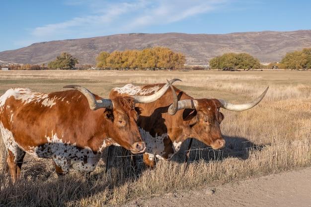 Dos bueyes de cuernos largos de texas Foto gratis